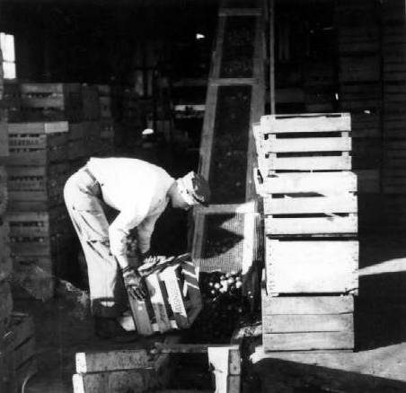 Unloading Apple Crates for Washing
